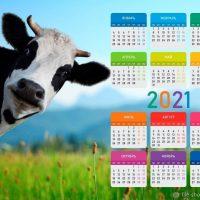 """Настенный календарь 2021 """"Любопытная коровка"""""""